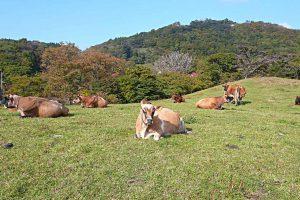 神津牧場のジャージー牛